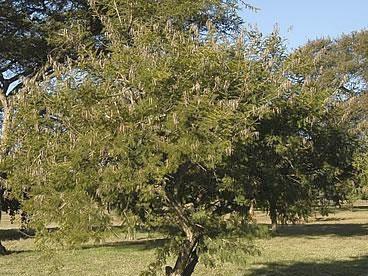 Acacia Davyi
