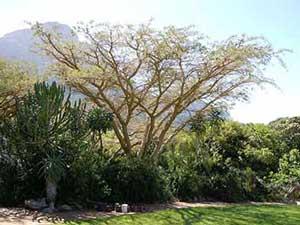 Acacia Seberiana
